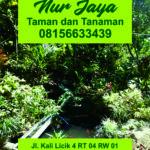 Katarina3-Tanaman-Nur-Jaya.jpg